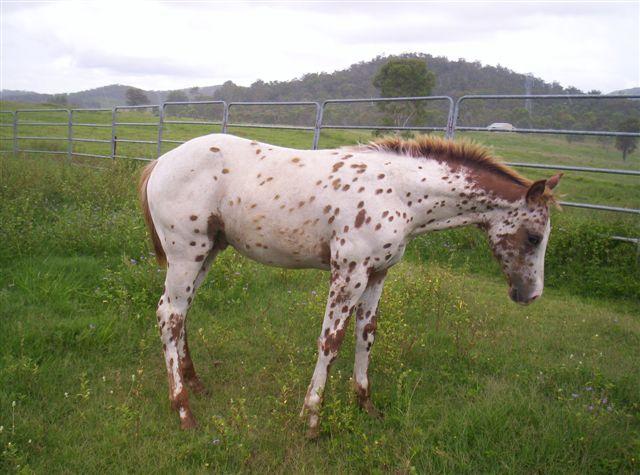 sturdy colt