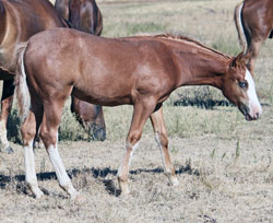 cornish storms filly  1 week