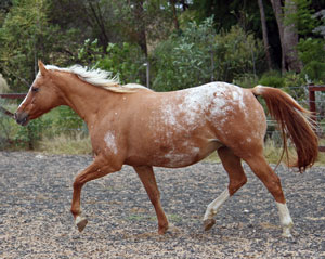 beautiful red dun mare