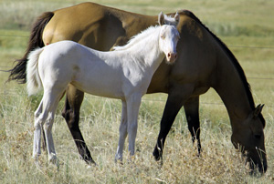 cremello filly